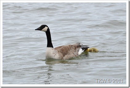 Mother Goose (4)