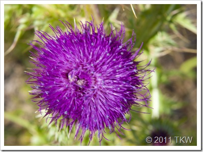 Thistle Front
