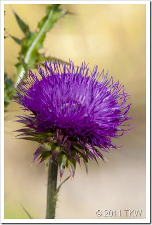 Thistle side