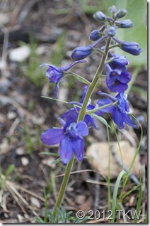 1 Low Larkspur