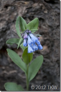 1 Mountain Bluebells
