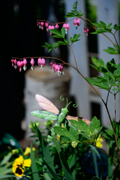 Bleeding Hearts ©Rhonda Adkins 2013-0780