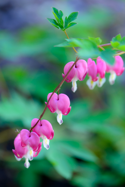 Bleeding Hearts ©Rhonda Adkins 2013-0788